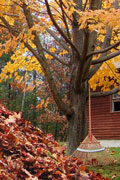 Autumn tree with pile of fall leaves and rake